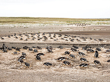 Gentoo penguins (Pygoscelis papua) at nesting site on Bull Point, East Island, Falkland Islands, South America