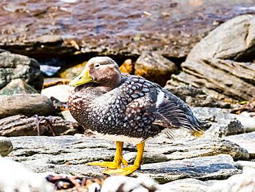 An adult female Falkland steamer duck (Tachyeres brachypterus), on Carcass Island, Falkland Islands, South America