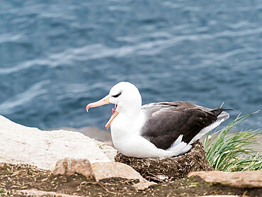 Adult black-browed albatross (Thalassarche melanophris), on its nest on Saunders Island, Falkland Islands, South America