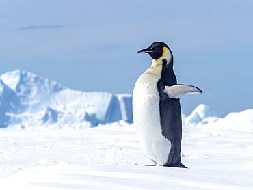 Adult emperor penguin (Aptenodytes forsteri), hauled out on ice near Snow Hill Island, Weddell Sea, Antarctica.