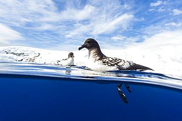 A curious adult cape petrel (Daption capense), Lindblad Cove, Trinity Peninsula, Antarctica, Polar Regions