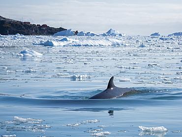 An adult Antarctic minke whale (Balaenoptera bonaerensis), surfacing amongst brash ice in Cierva Cove, Antarctica, Polar Regions