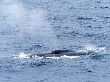 Adult fin whale (Balaenoptera physalus), surfacing near Point Wild, Elephant Island, Antarctica, Polar Regions