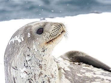 Adult Weddell seal (Leptonychotes weddellii), resting on ice on Paulet Island, Weddell Sea, Antarctica, Polar Regions