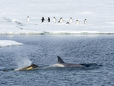 Type Big B killer whales (Orcinus orca), searching ice floes for pinnipeds in the Weddell Sea, Antarctica, Polar Regions