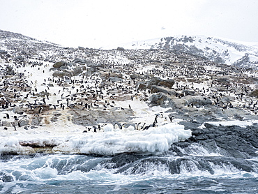 Adelie penguin (Pygoscelis adeliae) breeding colony at Heroina Island, Danger Islands, Weddell Sea, Antarctica, Polar Regions