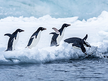 Adelie penguin (Pygoscelis adeliae), breeding colony at Brown Bluff, Antarctic Sound, Antarctica, Polar Regions