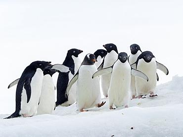 Adelie penguins (Pygoscelis adeliae), with a gentoo penguin at Brown Bluff, Antarctic Sound, Antarctica, Polar Regions