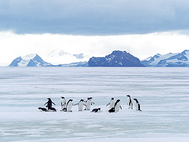 Adelie penguins (Pygoscelis adeliae), on fast ice near Devil Island, Weddell Sea, Antarctica, Polar Regions