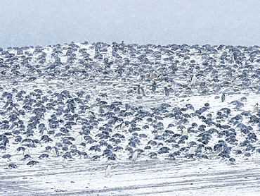 Adelie penguin (Pygoscelis adeliae), breeding colony on Paulet Island, Weddell Sea, Antarctica, Polar Regions