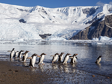 Gentoo penguins (Pygoscelis papua), returning to sea at the breeding colony on Cuverville Island, Antarctica, Polar Regions