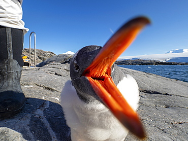Curious gentoo penguin chick (Pygoscelis papua), Jougla Point, Wiencke Island, Antarctica, Polar Regions