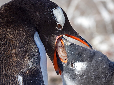 An adult gentoo penguin (Pygoscelis papua) feeding its chick krill, Jougla Point, Wiencke Island, Antarctica, Polar Regions