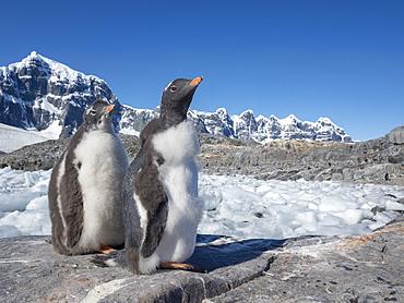 Molting gentoo penguins (Pygoscelis papua), Jougla Point, Wiencke Island, Antarctica, Polar Regions