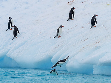 Gentoo penguins (Pygoscelis papua), leaping on to ice near Booth Island, Antarctica, Polar Regions
