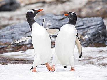 Gentoo penguins (Pygoscelis papua), on ice in Shingle Cove, Coronation Island, South Orkney Islands, Antarctica, Polar Regions