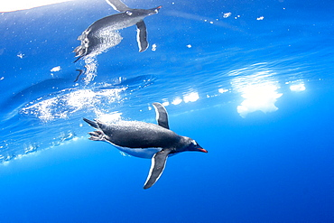 Gentoo penguins (Pygoscelis papua), underwater in clear water in Lindblad Cove, Trinity Peninsula, Antarctica, Polar Regions
