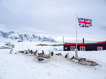 A gentoo penguin (Pygoscelis papua), breeding colony beneath Union Jack flag, at British Base A at Port Lockroy, Antarctica, Polar Regions
