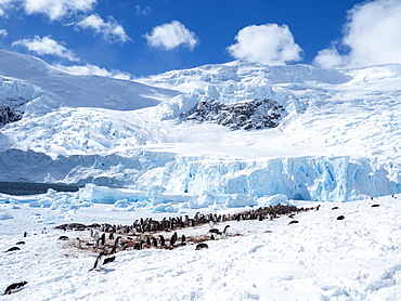 Gentoo penguin (Pygoscelis papua), breeding colony in Neko Harbor, Antarctica, Polar Regions