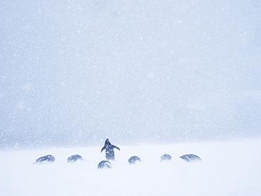 Adult gentoo penguins (Pygoscelis papua), on shore fast ice in Wilhamena Bay, Antarctica, Polar Regions