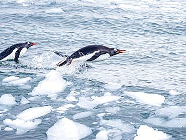 Adult gentoo penguins (Pygoscelis papua), on brash ice in Neko Harbor, Antarctica, Polar Regions