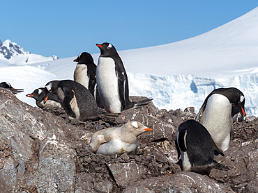 A leucistic gentoo penguin (Pygoscelis papua), showing lack of melanin nesting at the Chilean Base Gonzalez Videla, Antarctica, Polar Regions