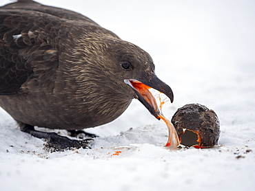 Adult Antarctic skua (Stercorarius antarcticus), eating a gentoo penguin egg at Port Lockroy, Antarctica, Polar Regions