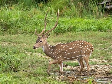 A male Sri Lankan axis deer (Axis axis ceylonensis), Wilpattu National Park, Sri Lanka, Asia