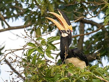 An adult Malabar pied hornbill (Anthracoceros coronatus), feeding on berries, Udawalawe National Park, Sri Lanka, Asia