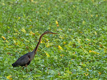 An adult purple heron (Ardea purpurea), stalking prey on the Kalpitiya Peninsula, Sri Lanka, Asia