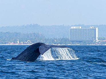 An adult blue Whale (Balaenoptera musculus), flukes-up dive off the small town of Mirissa in southern Sri Lanka, Asia