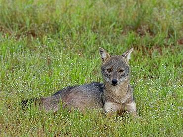An adult Sri Lankan jackal (Canis aureus naria), Wilpattu National Park, Sri Lanka, Asia
