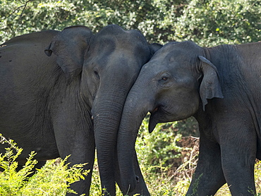 Young Asian elephants (Elephas maximus), mock fighting in the forest, Udawalawe National Park, Sri Lanka, Asia
