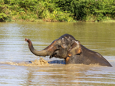 An adult Asian elephant (Elephas maximus), bathing in a waterhole, Udawalawe National Park, Sri Lanka, Asia