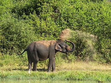 An adult Asian elephant (Elephas maximus), taking a dust bath with its trunk, Udawalawe National Park, Sri Lanka, Asia
