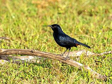 Adult Indian robin (Copsychus fulicatus), on the ground, Yala National Park, Sri Lanka, Asia
