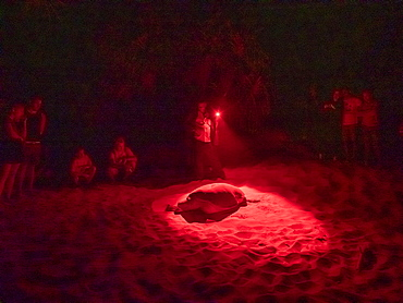 Adult female green sea turtle (Chelonia Mydas), coming ashore at night to nest, Rekawa Beach, Sri Lanka, Asia