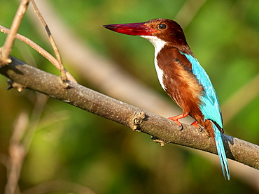 An adult white-throated kingfisher (Halcyon smyrnensis), on the Nilwala River, Sri Lanka, Asia