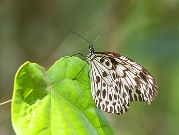 An adult Sri Lankan tree nymph (Idea iasonia), in the Sinharaja Rainforest Reserve, Sri Lanka, Asia