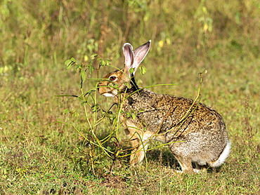 An adult Indian hare (Lepus nigricollis), foraging in Yala National Park, Sri Lanka, Asia