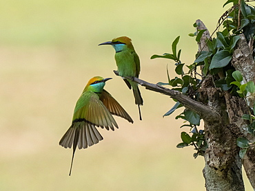 A pair of adult little green bee-eaters (Merops orientalis), perched on a tree, Wilpattu National Park, Sri Lanka, Asia