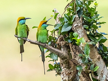 A pair of adult little green bee-eaters (Merops orientalis) perched on a tree, Wilpattu National Park, Sri Lanka, Asia