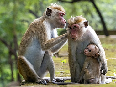 Toque macaques (Macaca sinica) grooming each other, Polonnaruwa, Sri Lanka, Asia