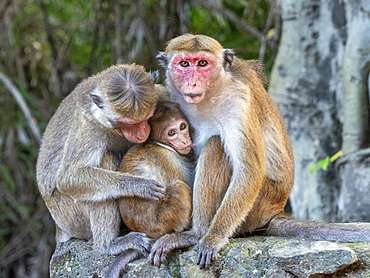 A baby toque macaque (Macaca sinica), nursing from its mother, Polonnaruwa, Sri Lanka, Asia