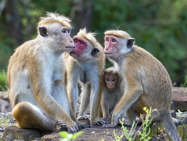 A Toque macaque (Macaca sinica) troop in Polonnaruwa, Sri Lanka, Asia