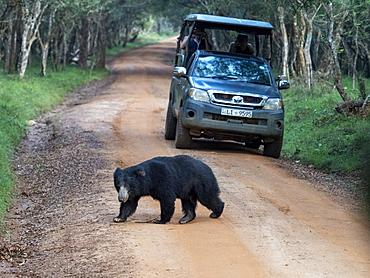 An adult sloth bear (Melursus ursinus) crossing the road in Wilpattu National Park, Sri Lanka, Asia