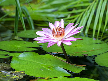 A purple Lily (Nympia stellata), flowering in the Sinharaja Rainforest Reserve, Sri Lanka, Asia