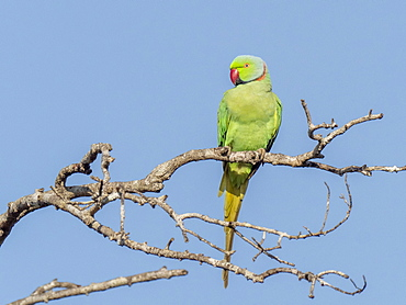 An adult rose-ringed parakeet (Psittacula krameri) perched on a tree in Wilpattu National Park, Sri Lank, Asia