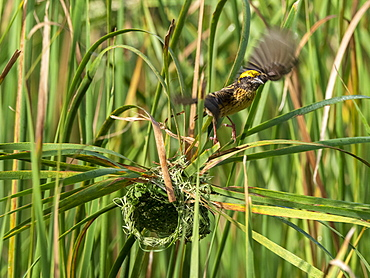 An adult streaked weaver (Ploceus manyar) weaving its nest in grass, Yala National Park, Sri Lanka, Asia
