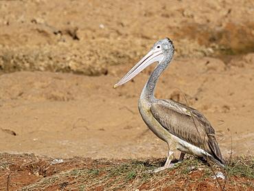 A juvenile Spot-billed pelican (Pelecanus philippensis), Yala National Park, Sri Lanka, Asia